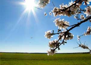 Almendro en flor en Ruidera