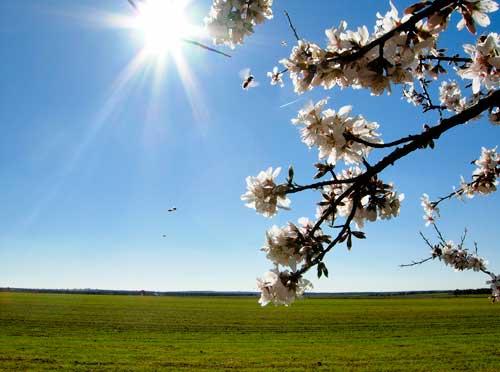 Almendro en flor en Ruidera.